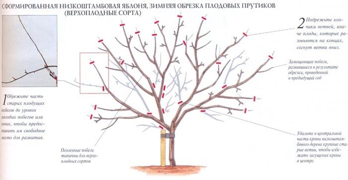 Яблоня и ее правильная обрезка