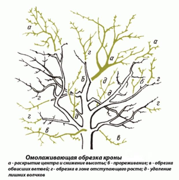 Омоложение кроны дерева