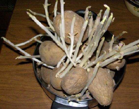 Неправильное проращивание картофеля