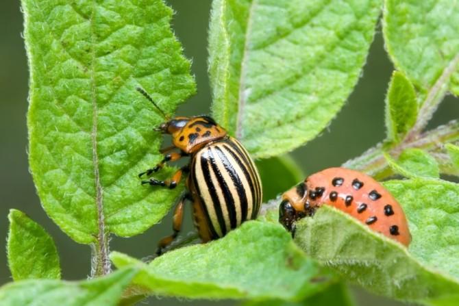Взрослая особь и личинка колорадского жука
