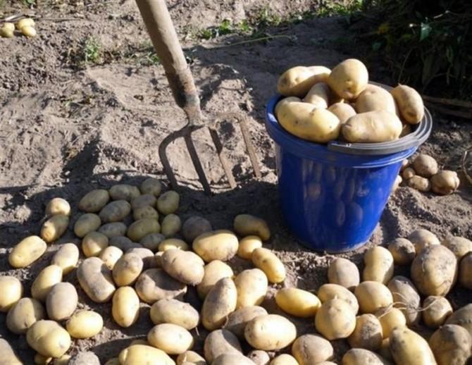 Уборка картофеля вручную вилами