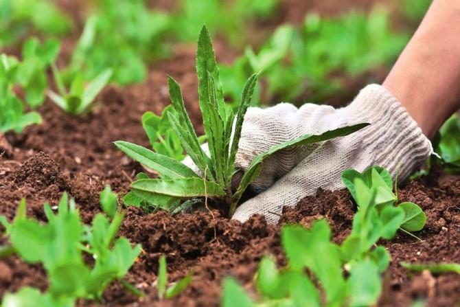 Удаление сорняков на грядке вручную
