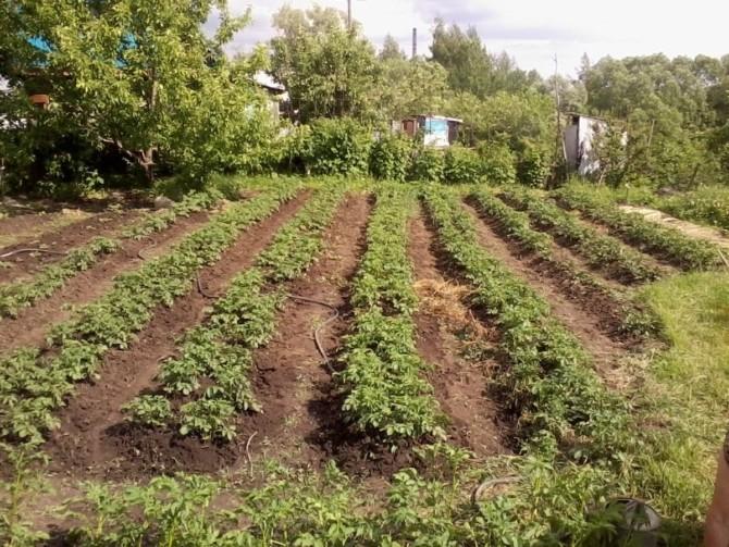 Выращивание и уборка картофеля